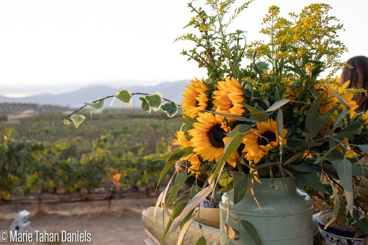 Sunflowers during sunset in Valle de Guadalupe, Baja California